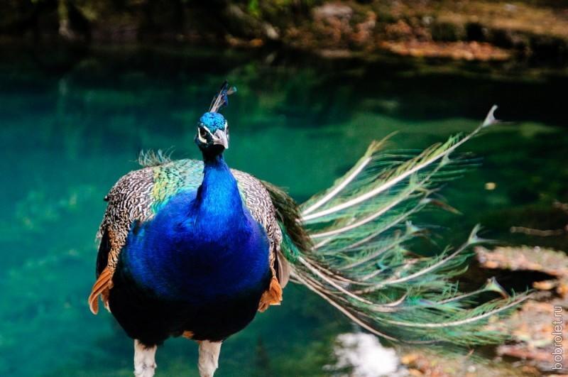 В Голубом озере нет обитателей: ни планктона, ни рыбы. Зато обитатели есть на его берегу. Павлины с утра до вечера развлекают туристов, фотографируясь с ними.