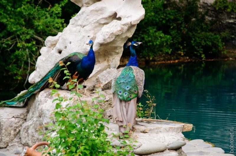 Нравится ли это павлинам, никто не спрашивал. Но на фоне голубой воды они действительно смотрятся восхитительно.