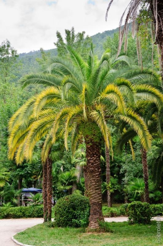 В Гагре очень много пальм.
