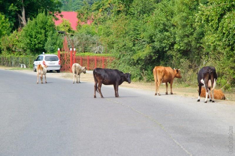 Коровам здесь полное раздолье: они свободно гуляют по дорогам, устраивают здесь лежбища.