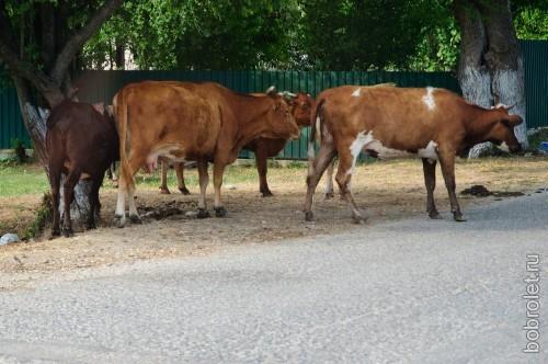 Порой на улице можно встретить больше коров, чем людей.