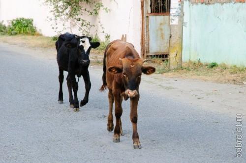 Коровы возвращаются с пляжа по домам.